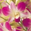 Орхидеи (21)