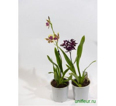 Орхидея Микс 12/45