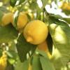 Цитрусовые деревья (4)