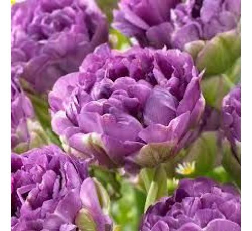 Тюльпан Махровый поздний Блу Вау (сиреневый,пионовидный)