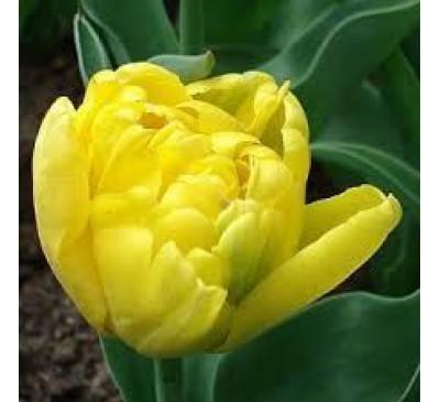 Тюльпан Махровый поздний Юник Гламур (лимон-жел.)